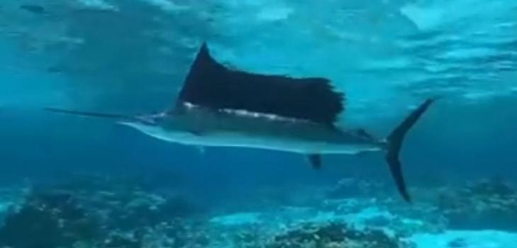 Un espadon dans le lagon de Bora Bora