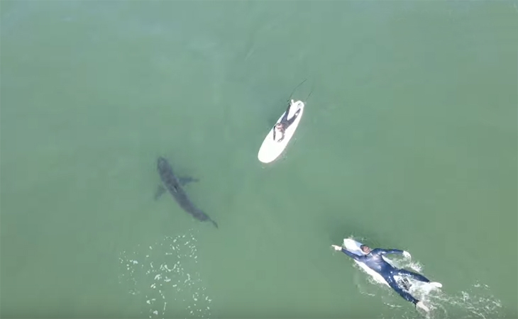 Grands requins blancs - San Diego