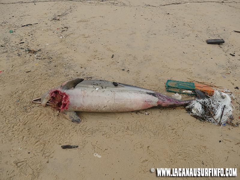 échouage dauphins lacanau océan